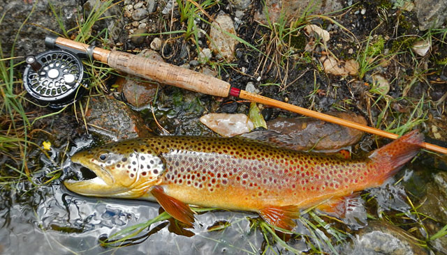 Taylor River Brown Trout