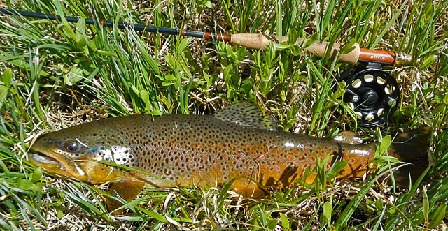 20-inch Brown Trout
