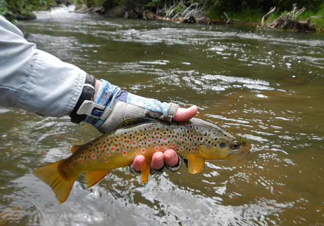 small creek brown trout